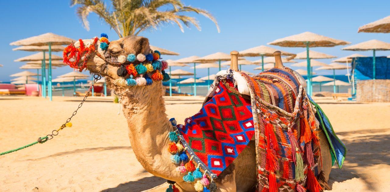 Sharm El Sheikh cămilă