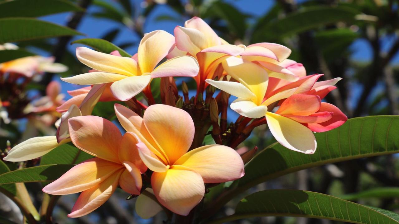Madeira floare Festivalul Florilor